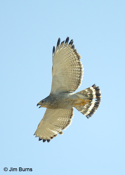 Gray Hawk adult in flight screaming