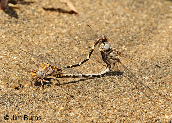 Gray Sanddragon pair in wheel on sand, Sacramento Co., CA, July 2013