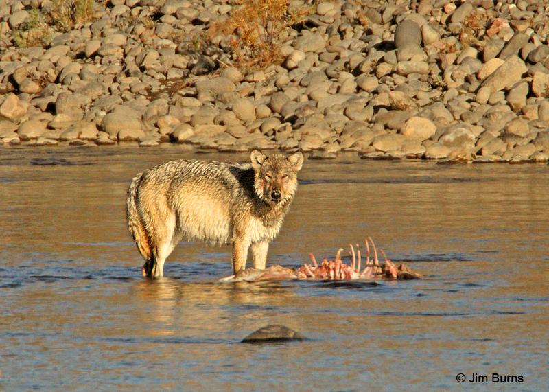 Gray Wolf alpha female on Elk carcass