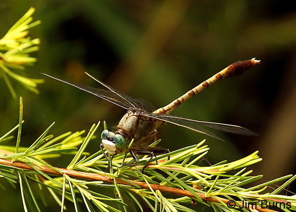 Gray-green Clubtail male, Liberty Co., FL, May 2018--9105