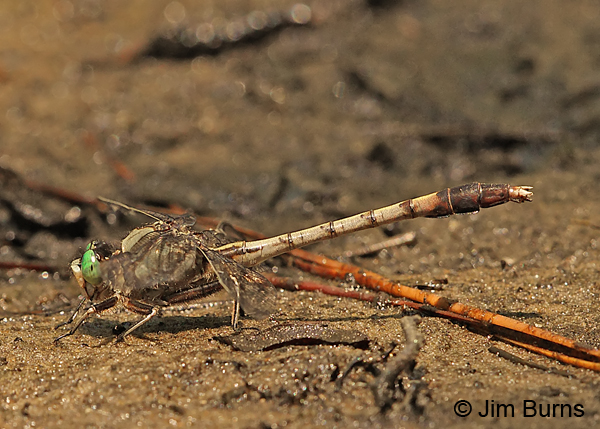 Gray-green Clubtail male, Horry Co., SC, May 2014