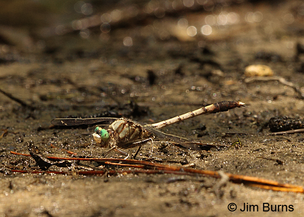 Gray-green Clubtail male on riverbank, Horry Co., SC, May 2014