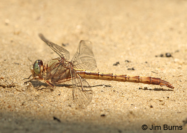Gray-green Clubtail female, Horry Co., SC, May 2014