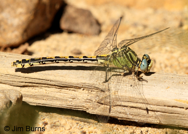 Great Basin Snaketail female, Deschutes Co., OR, July 2013
