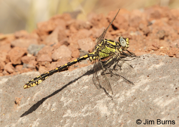 Great Basin Snaketail male, Klamath Co., OR, July 2013