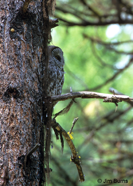 Great Gray Owl in tree bark camouflage