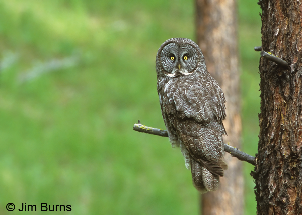 Great Gray Owl this is the one Kenny Bostick missed