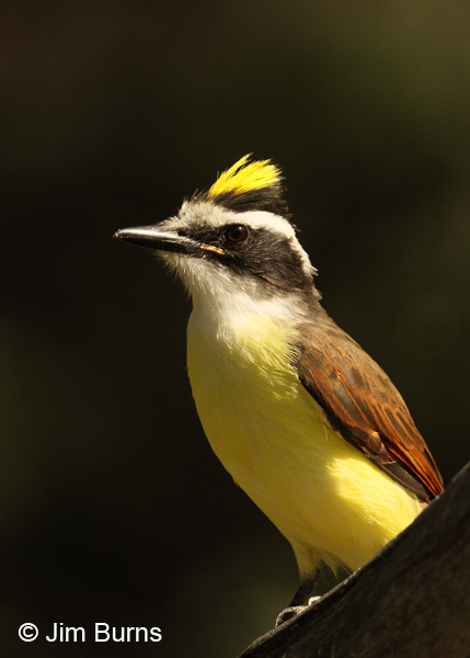 Great Kiskadee crest raised