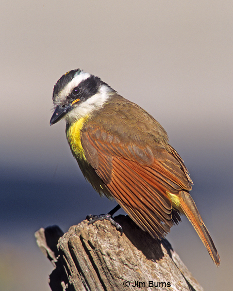 Great Kiskadee dorsal