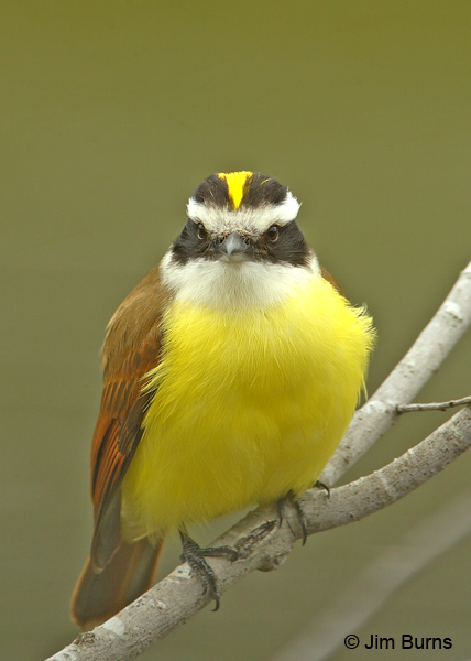 Great Kiskadee yellow crown patch