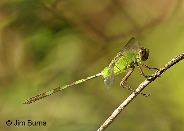 Great Pondhawk female, Dade Co., FL, December 2016