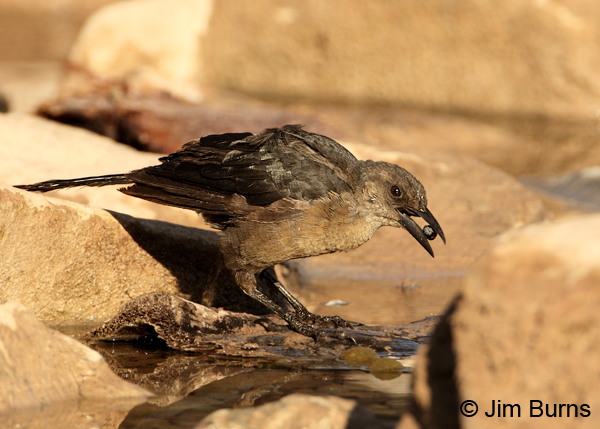 Great-tailed Grackle juvenile female softening date in canal
