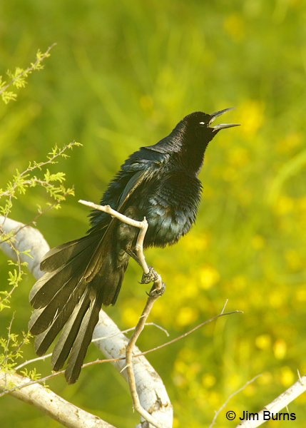 Great-tailed Grackle male displaying and calling