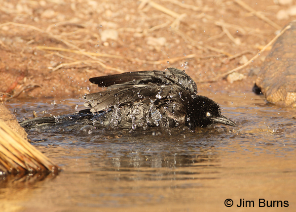 Great-tailed Grackle male bathing