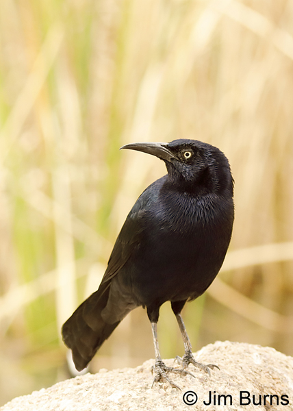 Great-tailed Grackle male #2