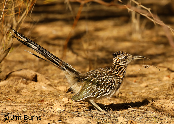 Greater Roadrunner male with nesting material--4222