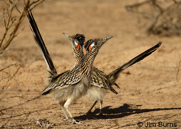 Greater Roadrunners dancing after copulation 6457