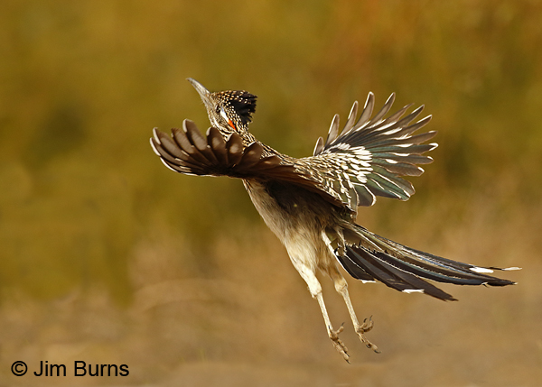 Greater Roadrunner leaping for insects--6553