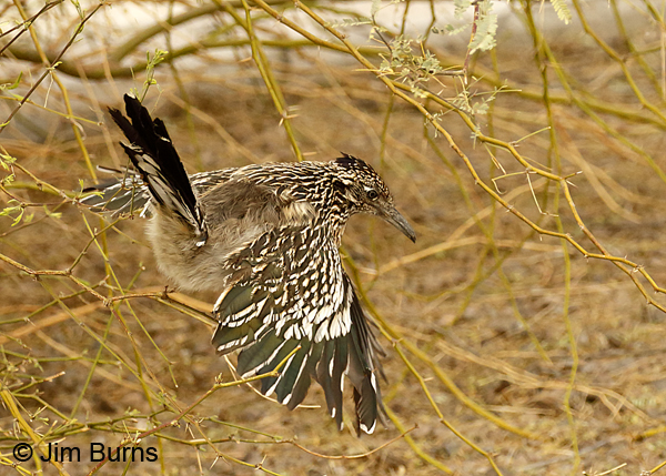 Greater Roadrunner flying out of tree 6355