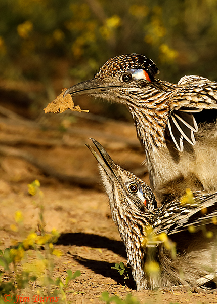 Greater Roadrunner tryst with gift of leaf