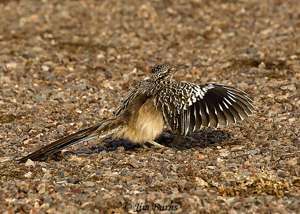 Greater Roadrunner female wing flashing for insects