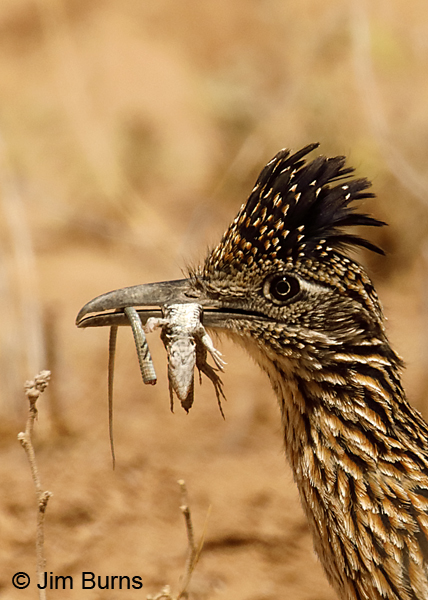 Greater Roadrunner Waste Not, Want Not