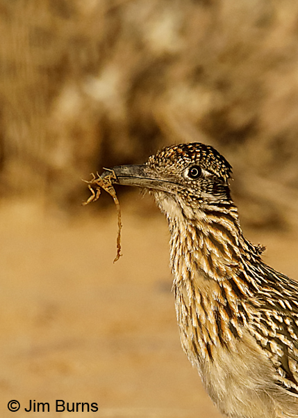 Greater Roadrunner with scorpion 8073 #2