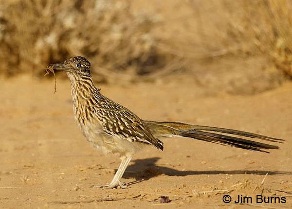 Greater Roadrunner with scorpion 8073