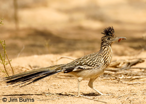 Greater Roadrunner female with cockroach 7829
