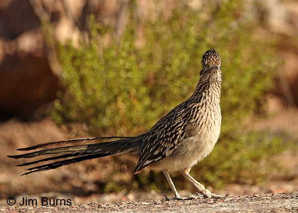 Greater Roadrunner limping with damaged foot and tarsal joint