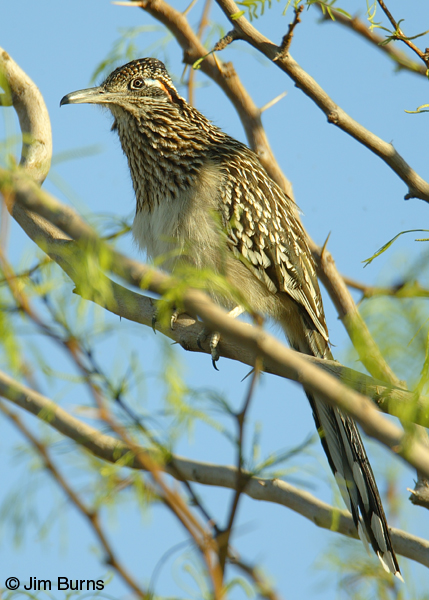 Greater Roadrunner showing cuckoo tail