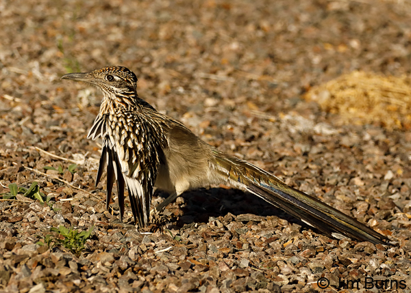 Greater Roadrunner wing flashing for insects