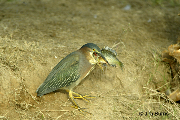 Green Heron biting off more than it can chew
