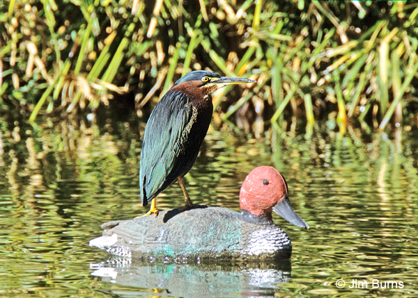 Green Heron hitching a ride