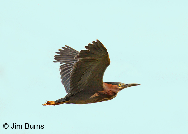 Green Heron in flight #2