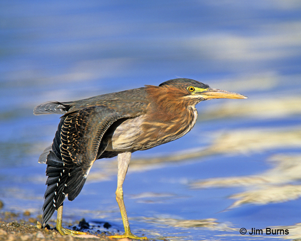 Green Heron juvenile wingstretch
