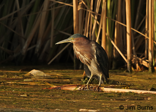 Green Heron sunset