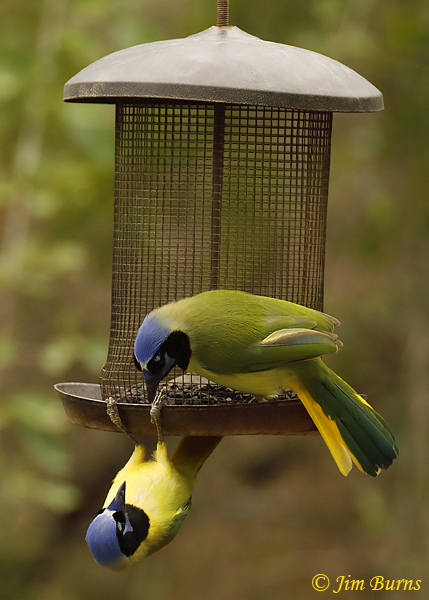 Green Jays exhibiting agonistic behavior--9307