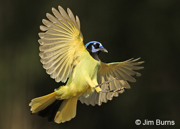 Green Jay landing gear down