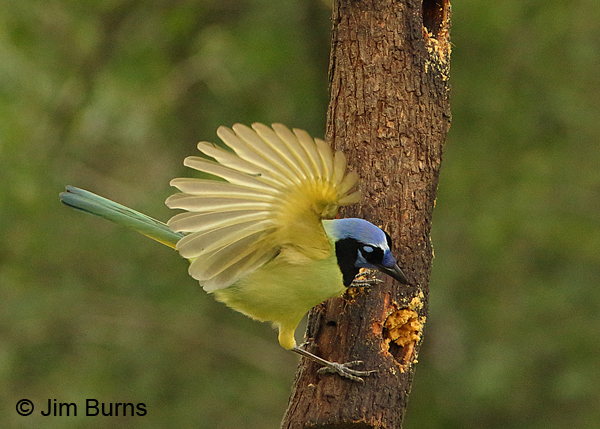 Green Jay on peanut butter log