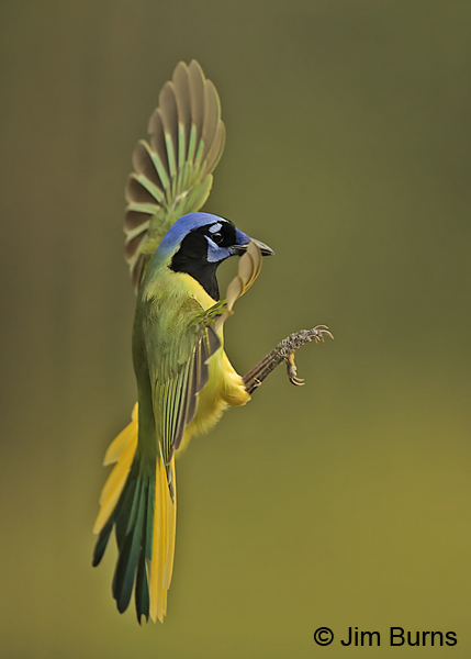 Green Jay vertical