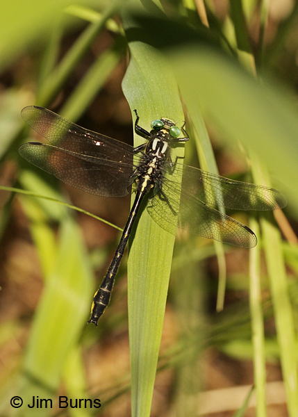 Green-faced Clubtail male, Rusk Co., WI, June 2014