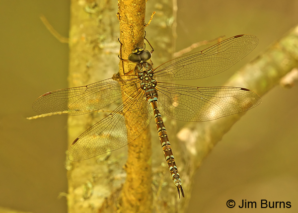 Green-striped Darner female dorsal view, Penobscot Co., ME, July 2014