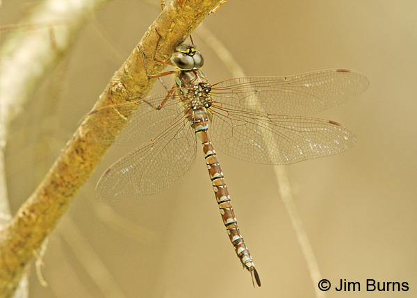 Green-striped Darner female dorsolateral view #2, Penobscot Co., ME, July 2014