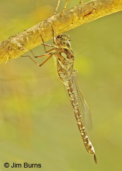Green-striped Darner female lateral view, Penobscot Co., ME, July 2014