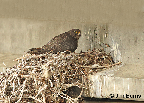 Gryfalcon female on nest