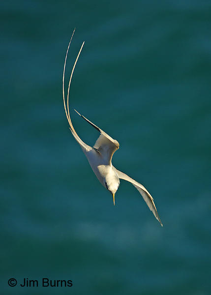 White-tailed Tropicbird diving