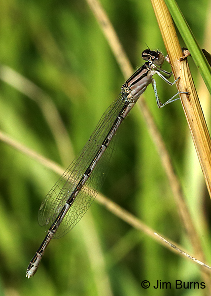 Hagen's Bluet female, Ozaukee Co., WI, July 2017