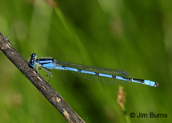 Hagen's Bluet male, Door Co., WI, July 2017