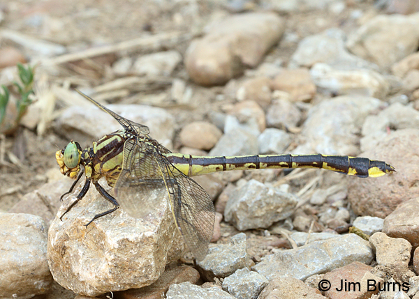 Handsome Clubtail female, Marshall Co., TN, June 2016